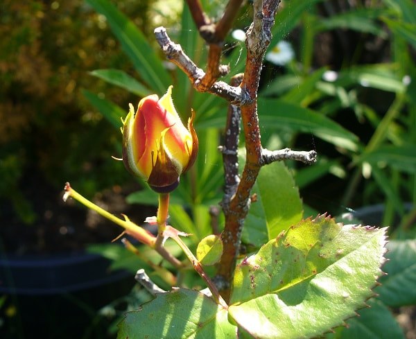 A rosebud that looks like someone munched on the leaves of the plant and the branches show winter damage. The bud, though, in shades of gold and red, is whole healthy and vibrant.